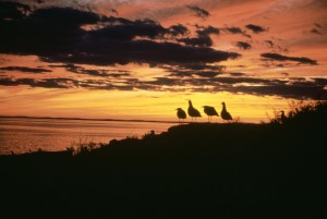 gulls, sunset