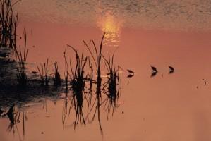 bécasseaux, coucher de soleil