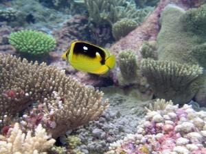 mariposa, peces, nadar, coral