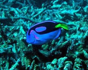 coral, reef, fish, pacific, blue, tan, paracanthurus, hepatus