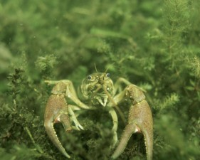 crayfish, up-close, underwater