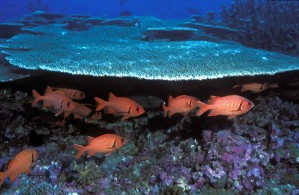 soldierfish, zwemmen, koralen
