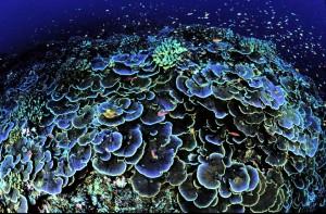 swirls, montipora, aequituberculata, kjernen, coral