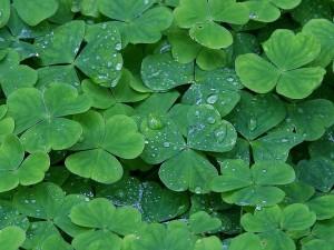 clover, dew, drops