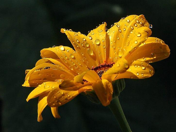 daisy, raindrops
