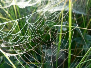 dew, covered, spider, web