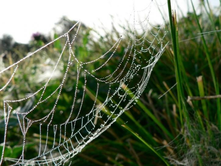 dew, covered, spider, web, grass