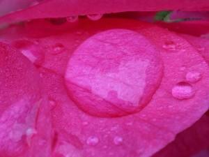 dew, rose