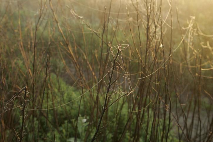 dewey, spider, webs, morning, scenery
