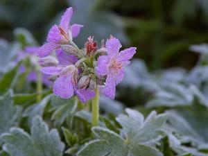 flowers, frost, ice, dew, winter