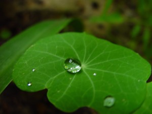 just, drop, nasturtium