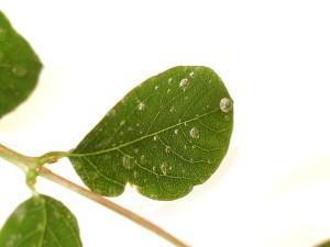 leaves, water, drops