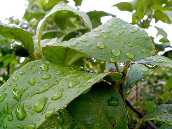 lemon, leaves, drops, dew