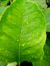 deszcz, cytryny, liście