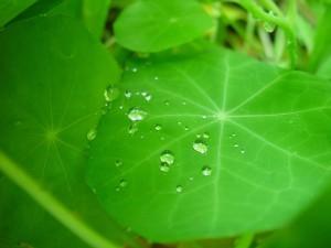 капли дождя, лист, настурция