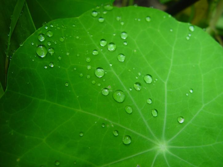 raindrops, nasturtium, leaves