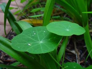 raindrops, nasturtiums