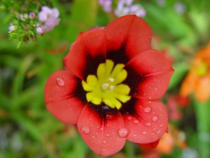 raindrops, red, yellow flower