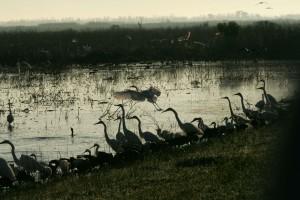 різноманітність, shorebirds, витонченість, притулок, вод