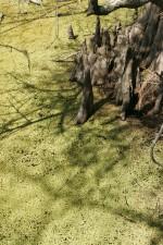 chauve, cyprès, genoux, se levant, l'eau, couvert, lenticule, marais, boue