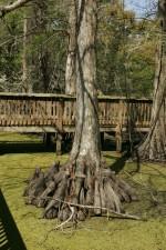 chauve, cyprès, arbre, croissant, de près, promenade, lenticule, couvert, eau
