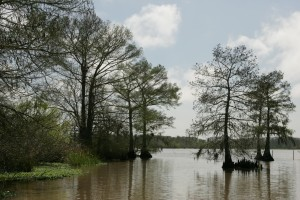 bald, cypress, trees, aquatic plants, growing, lake