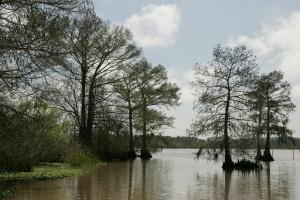 plešatý, cypřiš, stromy, vodní rostliny, pěstování, jezero