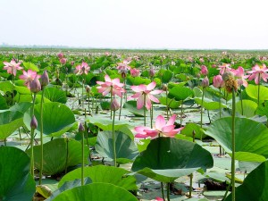 Bangladesh, wetland, natural, water, lotus, plants