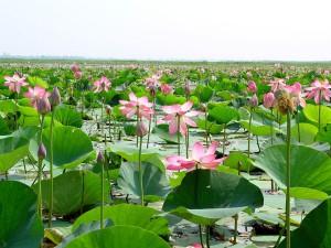 Bangladéš, mokraď, prírodná, voda, lotus, rastliny