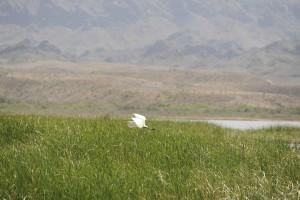 oiseau, voler, les zones humides