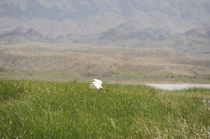 bird, flying, wetlands