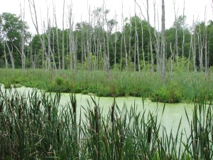 cattails, plants, swamp, water