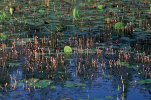 up-close, aquatic plants, water, surface, prairie, wetland