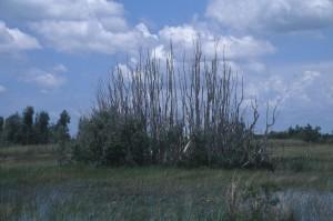 dead, melaleuca, swamp, area