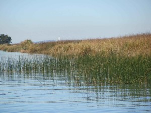grasses, growing, swamp, aquatic plants
