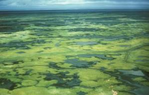 verde, delta, pântanos