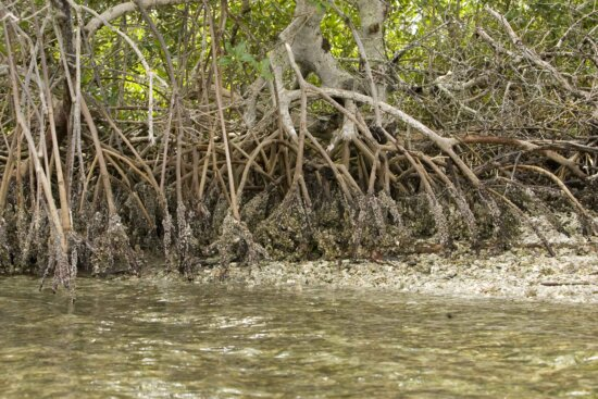 mangrove, plant, roots, island, water