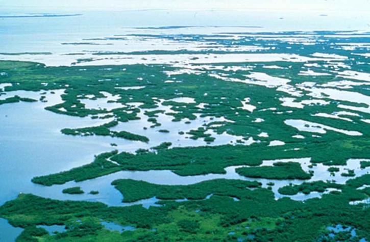 mangrove, plants, swamp, Florida