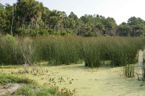 marsh, contains, palm trees, grasses, oaks