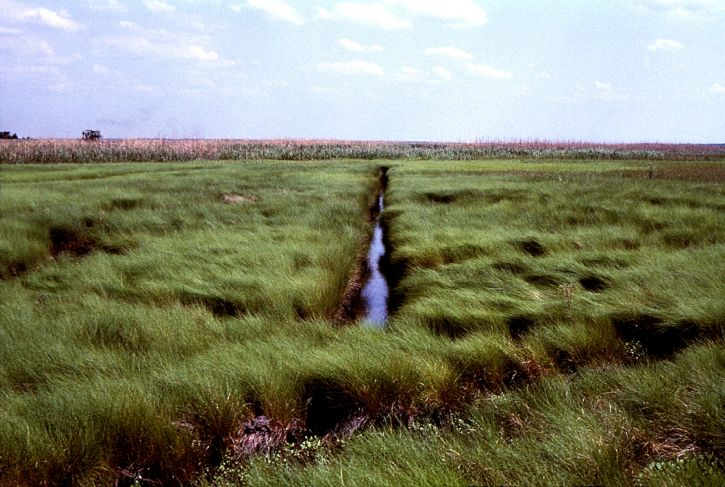 saltmeadow, cordgrass, spartina, patens, watery, marsh, traversed, network, drainage, ditches