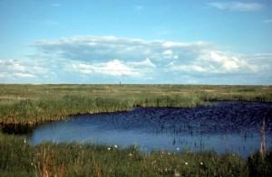 sás, marsh, táj