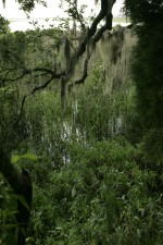 spanish, moss, hangs, gracefully, tree, refuge, maritime, forest