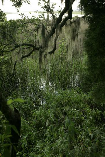 Spaniolă, moss, se blochează, gratios, copac, pădure maritimă, refugiu,