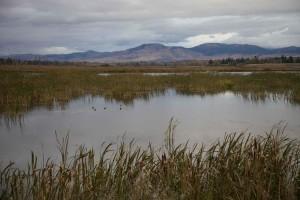 sump, naturskønne, landskab, vandfugle
