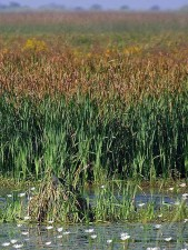 swamps, reeds