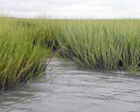marée, ruisseau, headward, érosion, marais salé