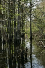 trees, growing, swamp, reflections, trees, water