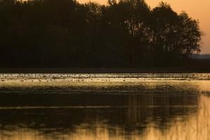 arbres, silhouette, sauvagine, flottant, des zones humides