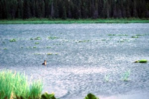 waterfowl, swamp, water