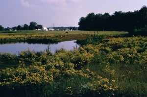 wetland, yellow flowers